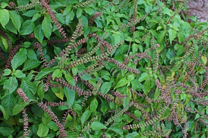 Afrikaans basilicum of wild basilicum, kruidingrediënt voor het koken stock fotografie