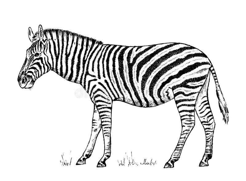 Afrikaans Gestreept Wild dier op witte achtergrond gestreept zwart wit paard Gegraveerde hand getrokken Uitstekende zwart-wit sch stock illustratie