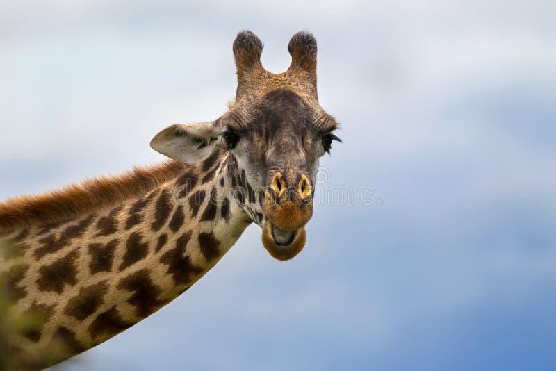 Afrikaans Girafgezicht tegen blauwe hemelachtergrond bij het Nationale Park van Serengeti in Tanzania, Afrika royalty-vrije stock fotografie