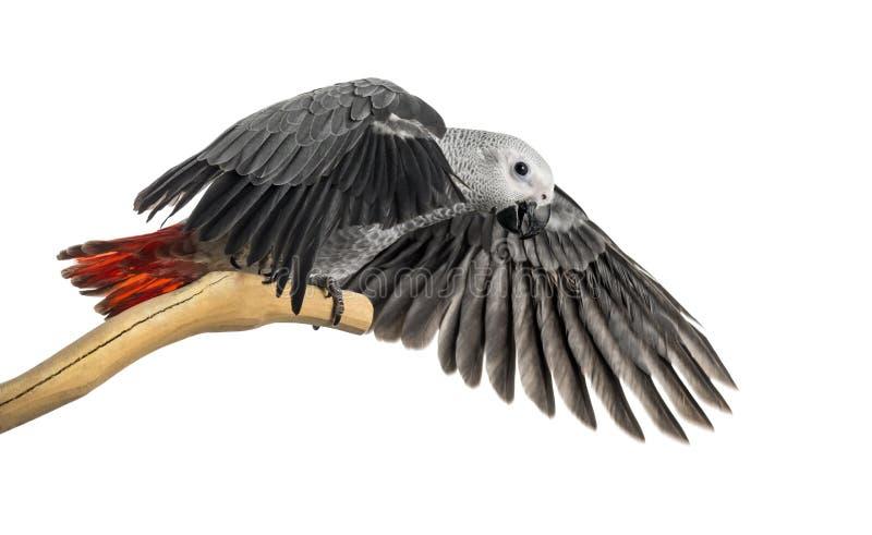 Afrikaans Grey Parrot (3 die maanden oud) op een tak wordt neergestreken en flapp royalty-vrije stock foto