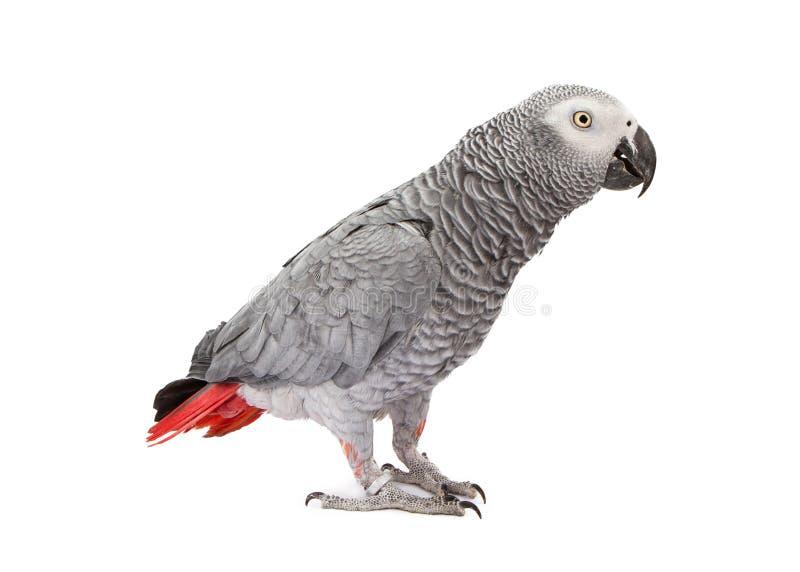 Afrikaans Grey Parrot Standing aan Kant royalty-vrije stock foto's
