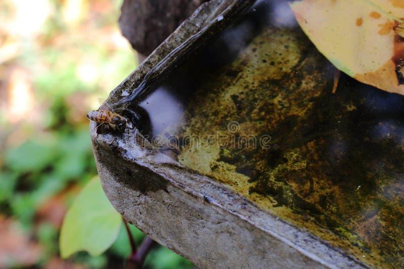 Afrikaans honingbijen drinkwater royalty-vrije stock foto's