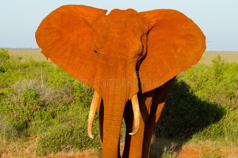 Afrikaans landschap met rode olifanten stock afbeelding