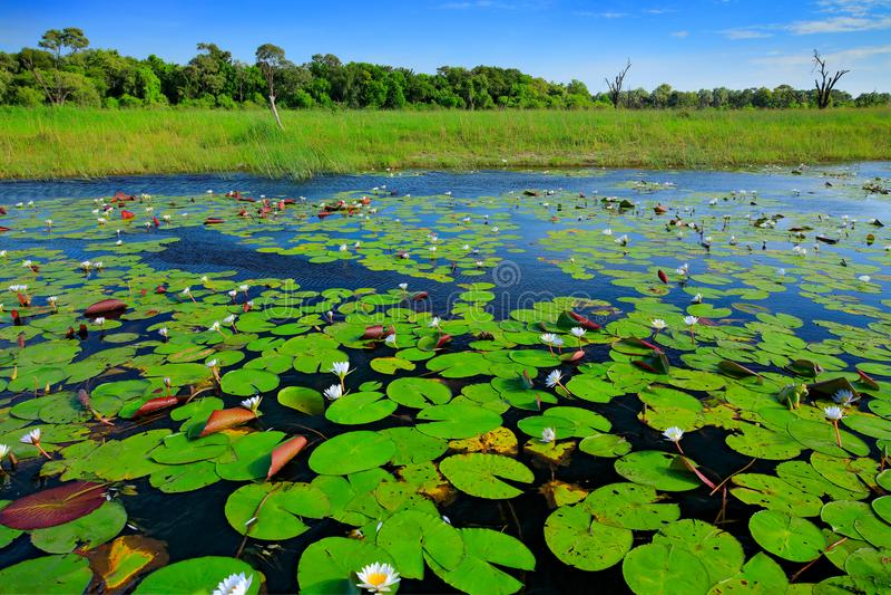 Afrikaans landschap, waterlelie met groene bladeren op de waterspiegel met blauwe hemel, Okavango-delta, Moremi, Botswana Rivier  royalty-vrije stock fotografie