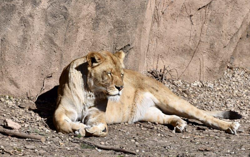 Afrikaans Lion Snoozing in de Zon stock afbeeldingen