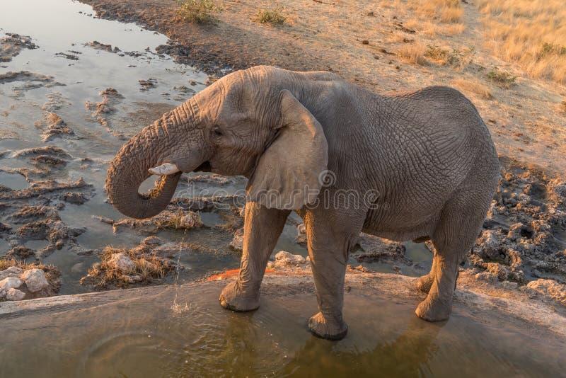 Afrikaans olifants drinkwater bij zonsondergang royalty-vrije stock afbeeldingen
