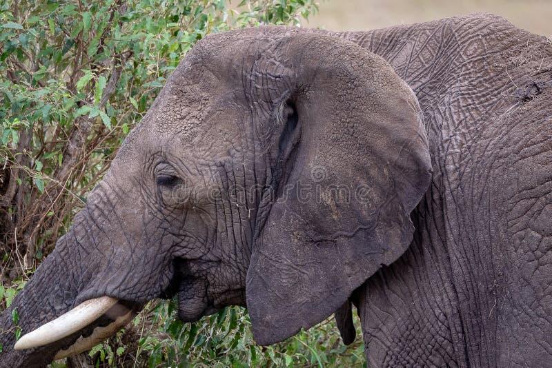 Afrikaans Olifantsclose-up stock foto