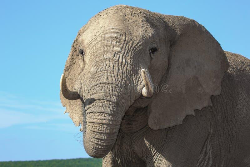 Download Afrikaans Olifantsclose-up stock afbeelding. Afbeelding bestaande uit toerisme - 39109427