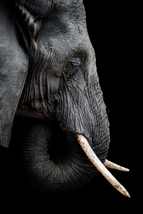 Afrikaans Olifantsportret royalty-vrije stock foto's