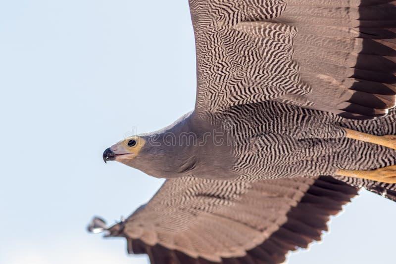 Afrikaans plunderaar-havik gymnogene roofvogel het vliegen close-up royalty-vrije stock afbeelding