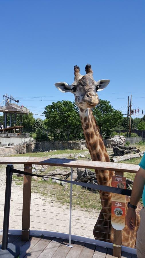 Afrikaans te voeden girafwachten stock afbeelding