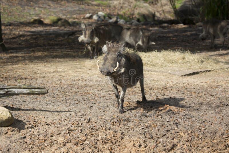 Afrikaans Wrattenzwijn stock afbeeldingen