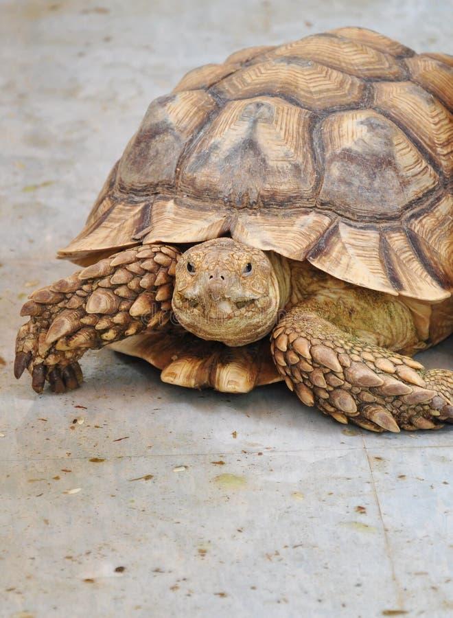 Afrikaanse aangespoorde schildpad royalty-vrije stock foto's