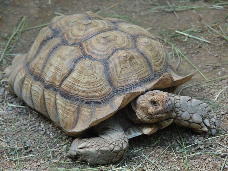 Afrikaanse aangespoorde schildpad stock afbeelding