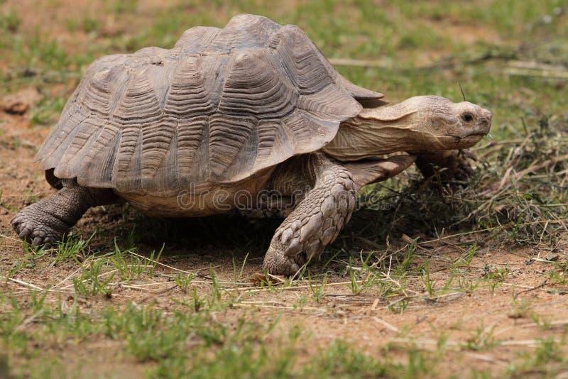 Afrikaanse aangespoorde schildpad stock foto's
