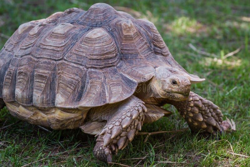 Afrikaanse Aangespoorde Schildpad royalty-vrije stock afbeeldingen