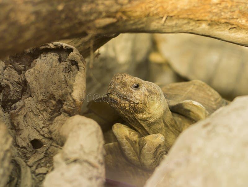 Afrikaanse aangespoorde schildpad (Centrochelys-sulcata) stock foto's