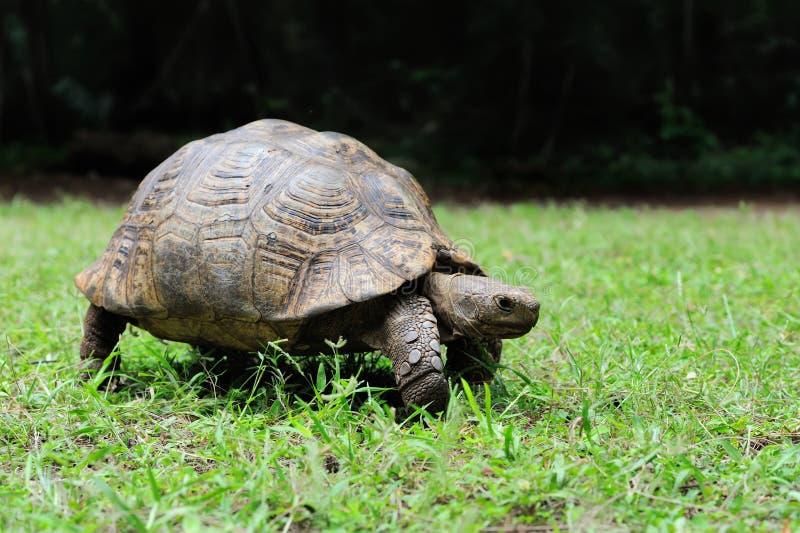 Afrikaanse Aangespoorde Schildpad in gras royalty-vrije stock afbeelding
