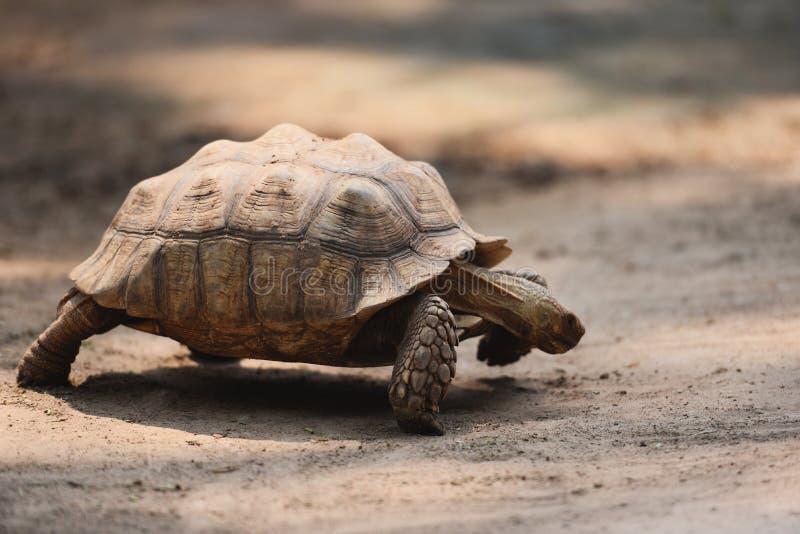 Afrikaanse aangespoorde schildpad/het Dichte omhooggaande schildpad lopen royalty-vrije stock afbeeldingen