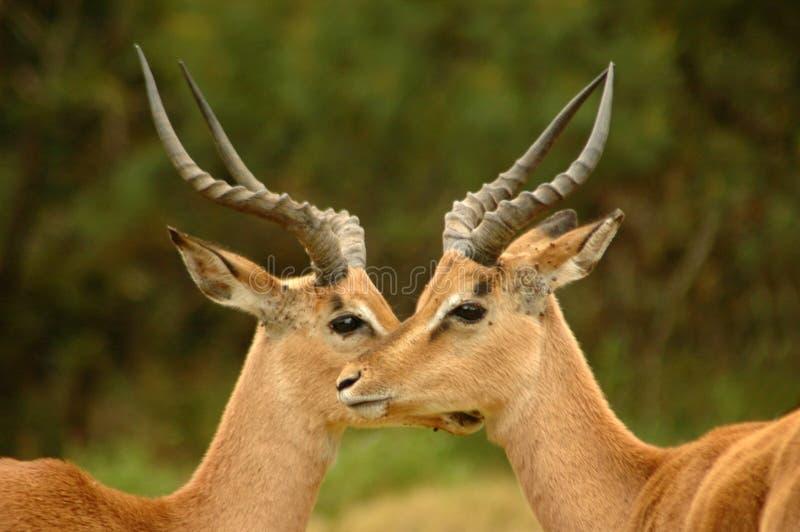 Afrikaanse antilopen royalty-vrije stock fotografie