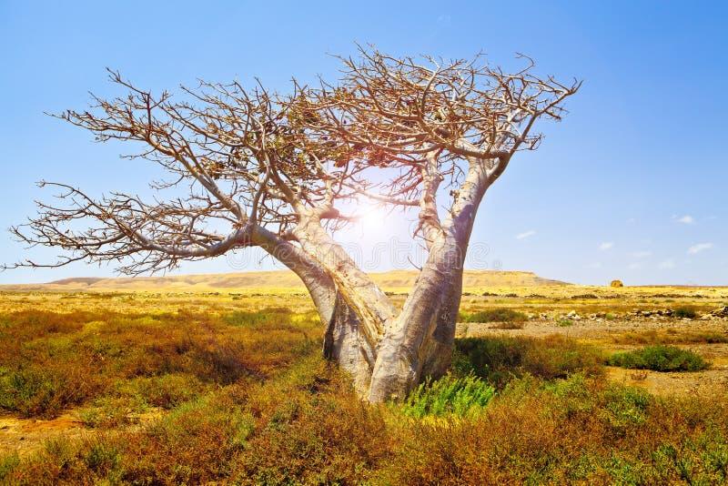 Afrikaanse Baobab stock afbeelding