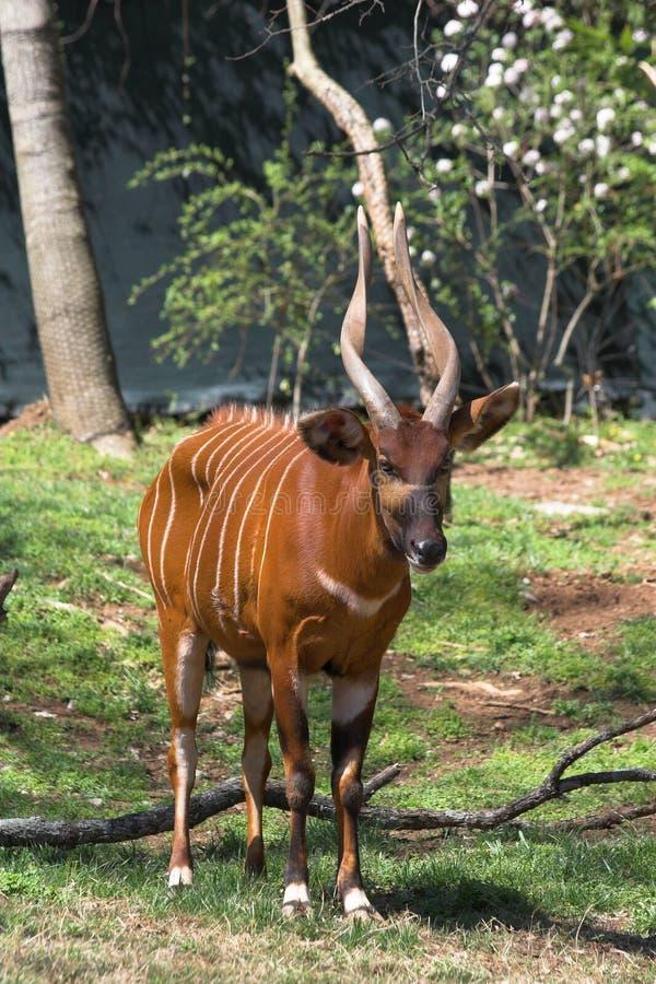 Afrikaanse Bongo royalty-vrije stock afbeelding