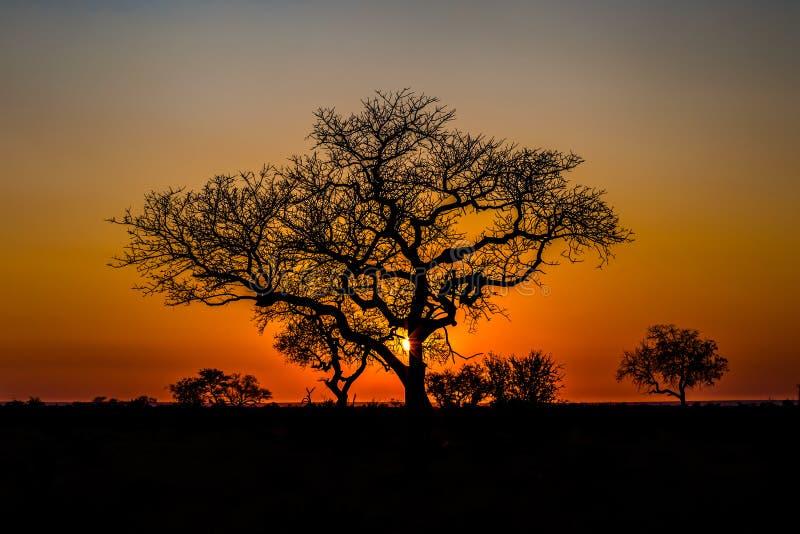 Afrikaanse boom bij zonsondergang royalty-vrije stock foto's