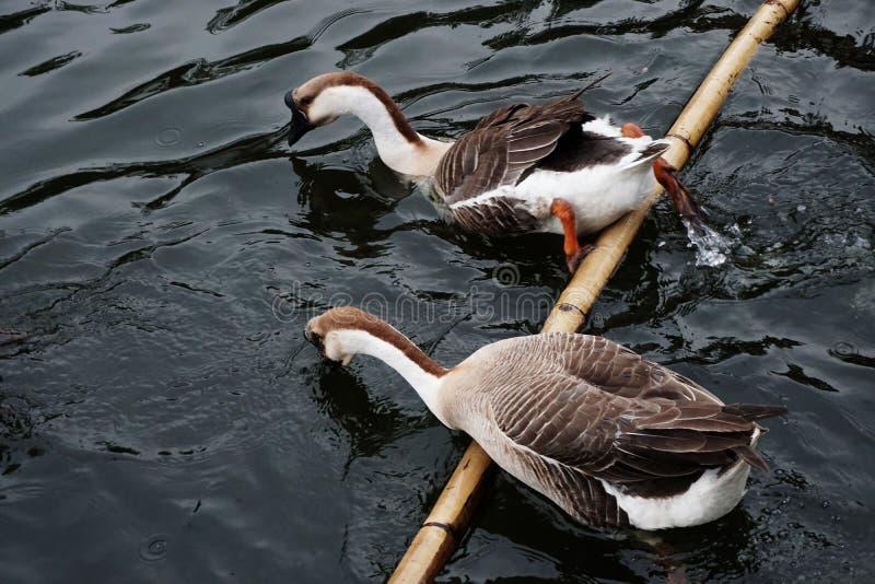Afrikaanse Bruine Gans | Schoonheid van Vogels royalty-vrije stock foto's
