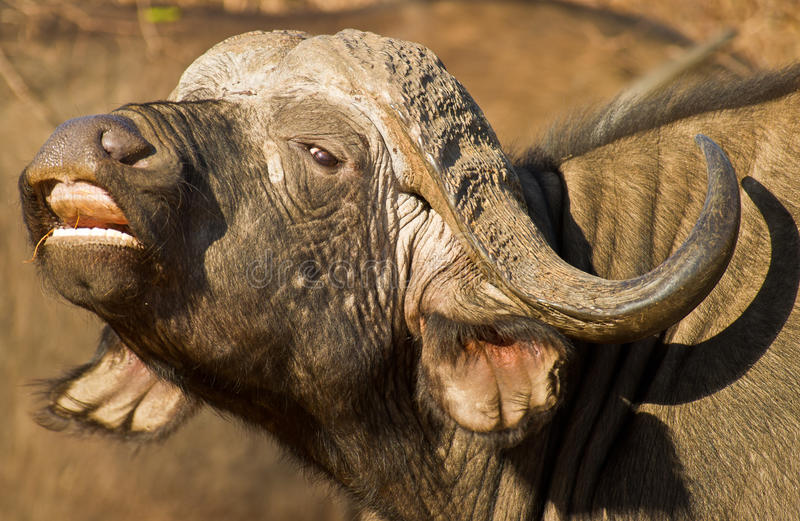 Afrikaanse Buffels met open mond stock fotografie