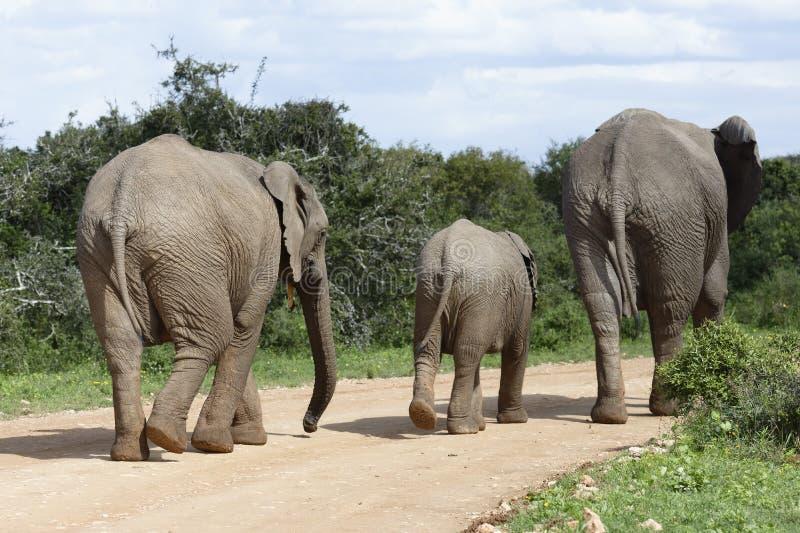 Afrikaanse Bush-Olifantsfamilie, Addo Elephant National Park stock foto