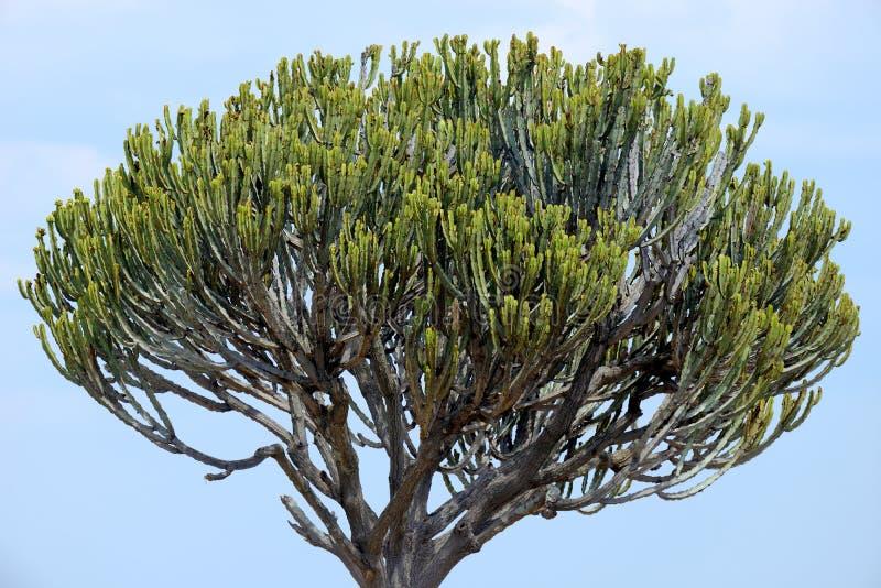 Afrikaanse cactusboom royalty-vrije stock afbeelding