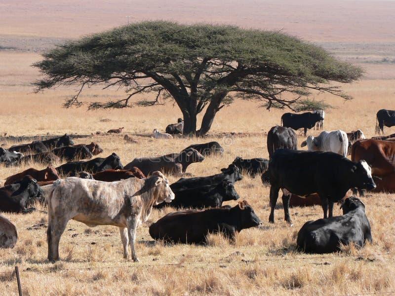 Afrikaanse Cattel stock afbeeldingen