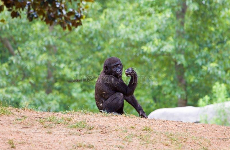 Afrikaanse chimpansee royalty-vrije stock afbeelding