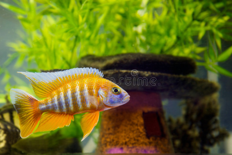 Afrikaanse Cichlid in aquarium stock fotografie