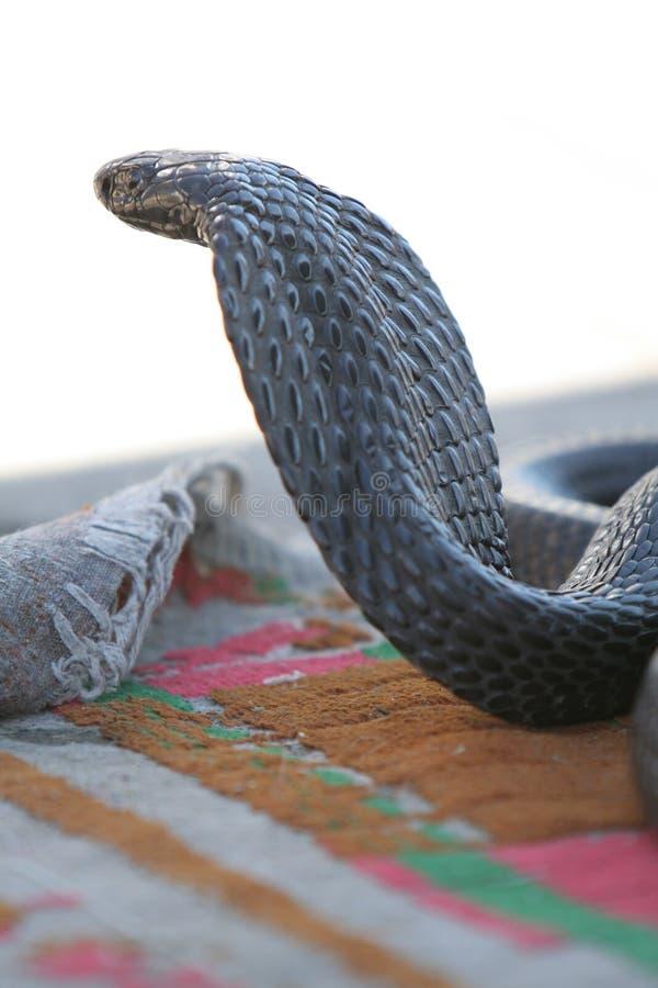 Afrikaanse cobra stock foto's