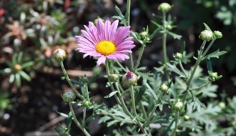 Afrikaanse Daisy Plant met Één enkele Roze Bloem in Bloei stock fotografie