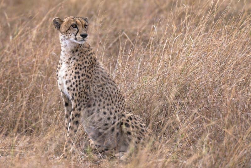 Afrikaanse die jachtluipaard in Masai Mara National Reserve wordt gefotografeerd royalty-vrije stock foto's