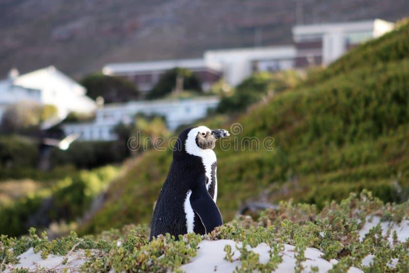 Afrikaanse die pinguïn ook als domoor wordt bekend of zwart-betaalde pinguïn die zonsondergang bekijken die zich bij Keienstrand  royalty-vrije stock foto