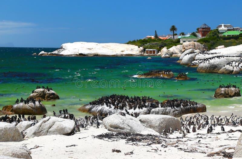 Afrikaanse die Pinguïnen bij Keienstrand in Simon& x27 wordt gevestigd; s Stad Cape Town, Zuid-Afrika royalty-vrije stock foto's