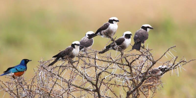 Afrikaanse die vogels op een acaciastruik worden neergestreken stock afbeelding