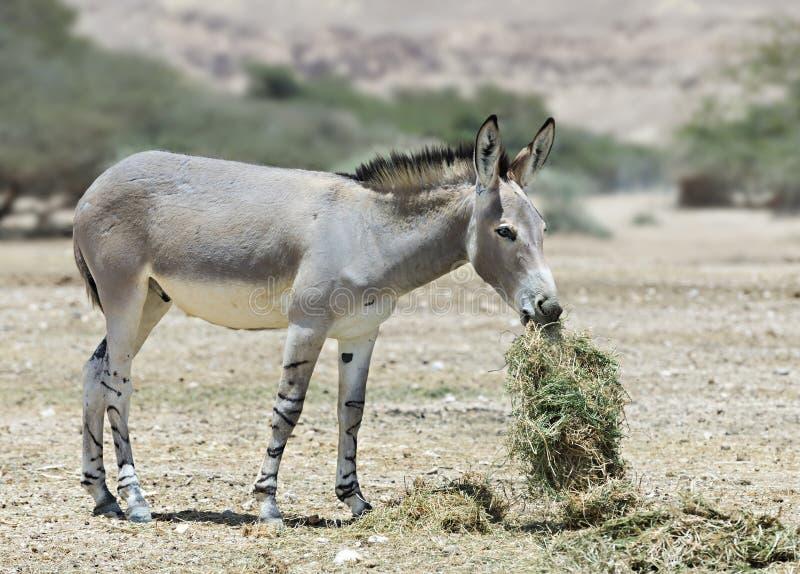 Afrikaanse ezel in Israëlisch natuurreservaat stock afbeelding