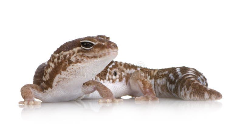 Afrikaanse fat-tailed gekko - Hemitheconyx caudicinct royalty-vrije stock afbeeldingen