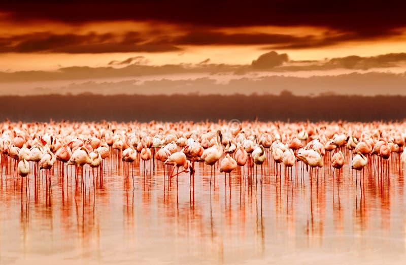 Afrikaanse flamingo's op zonsondergang stock fotografie