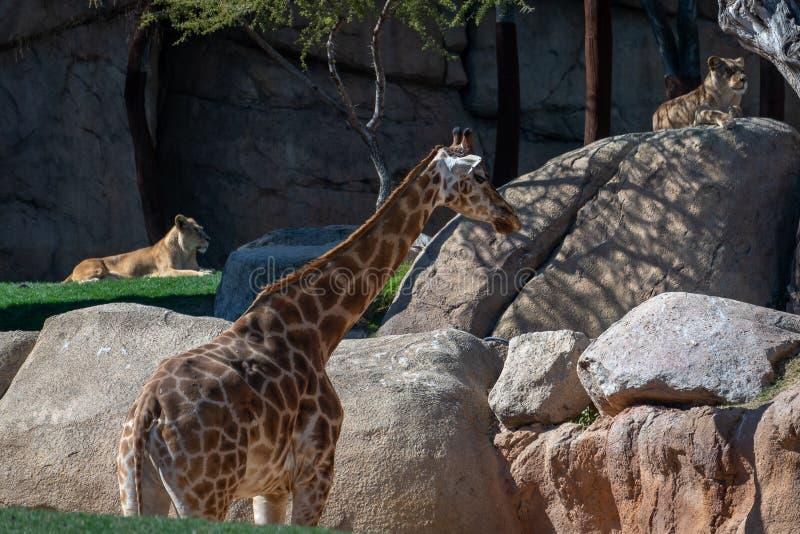 Afrikaanse Giraf in Bioparc in Valencia Spain op 26 Februari, 2019 stock foto's