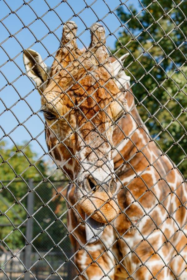Afrikaanse giraf in een bijlage bij de dierentuin Camelopardalis van Giraffa stock afbeeldingen