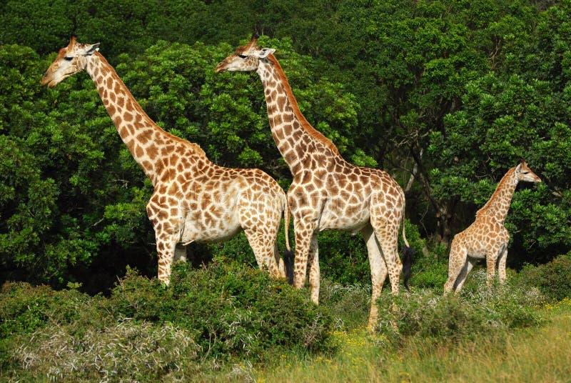 Afrikaanse giraffamilie stock fotografie
