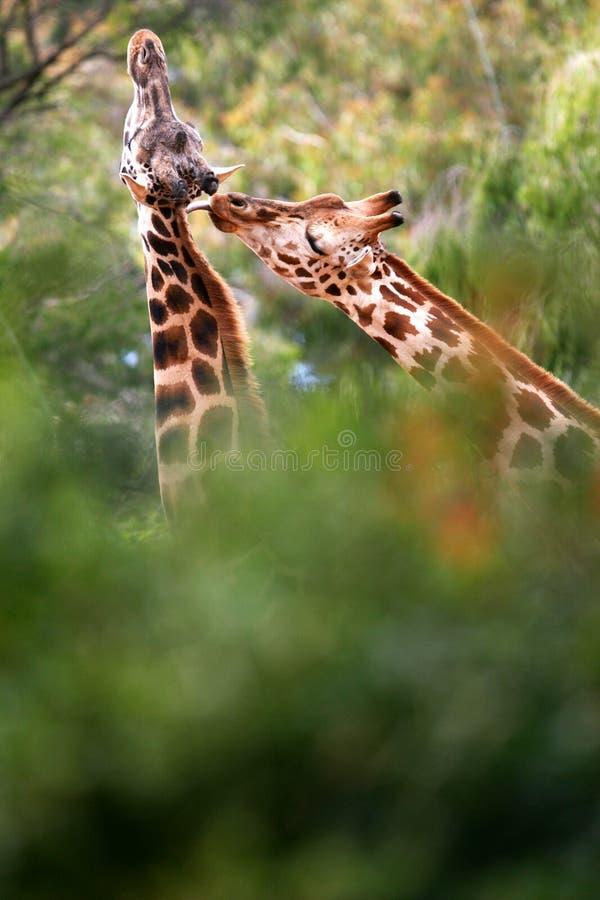 Afrikaanse Giraffen royalty-vrije stock afbeeldingen