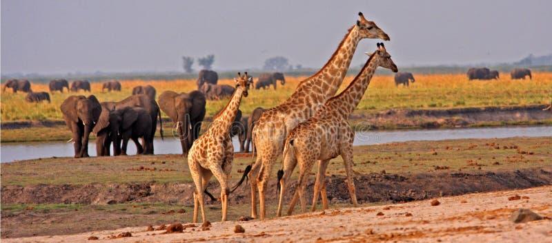 Afrikaanse giraffen. stock afbeeldingen