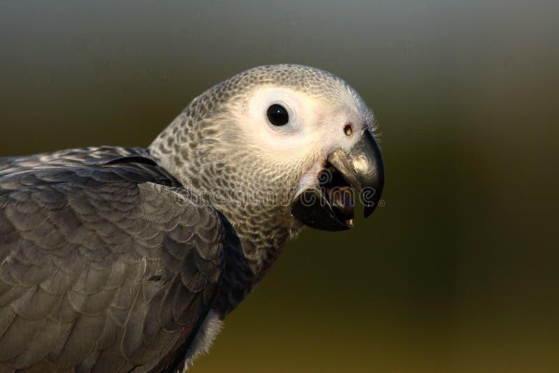 Afrikaanse grijze erithacus van papegaaipsittacus royalty-vrije stock foto's