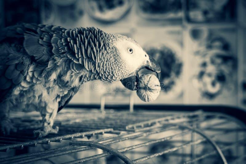 Afrikaanse grijze papegaai royalty-vrije stock foto's